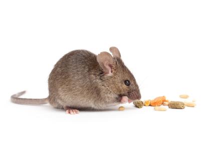 mus eller rotter